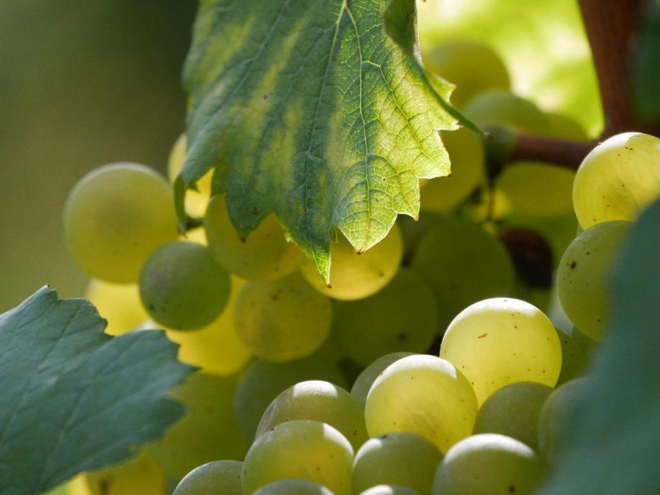 Vendanges de Chardonnay